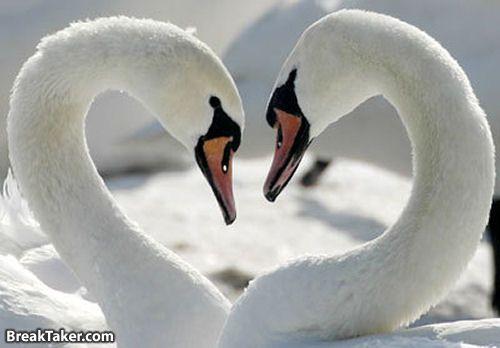 День Святого Валентина у зверей (111 фото)