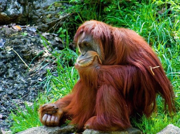 Орангутаны - самы смешные обезьяны (36 фото)