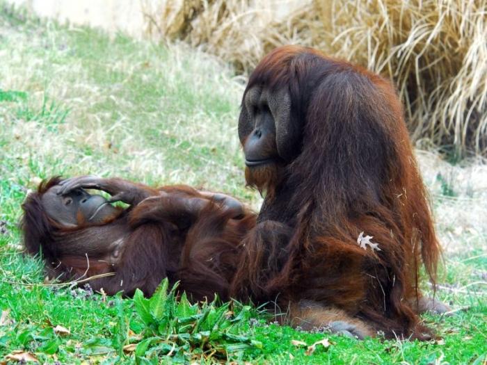 http://trinixy.ru/pics/orangutangs_08.jpg