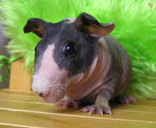Свино-бегемоты (16 фотографий)