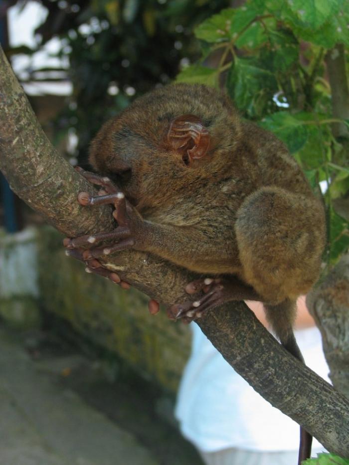Какие красавцы - долгопяты (33 фото)