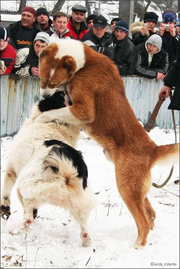 Собачьи бои 26 фото