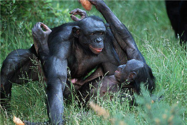 Миролюбие и помешанность на сексе бонобо, равно как агрессивность и