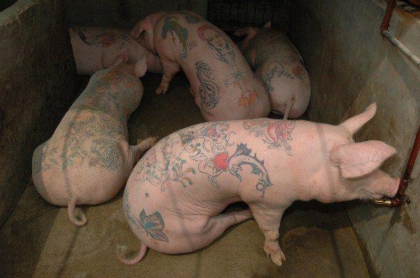 Кашеварка для свиней своими руками фото