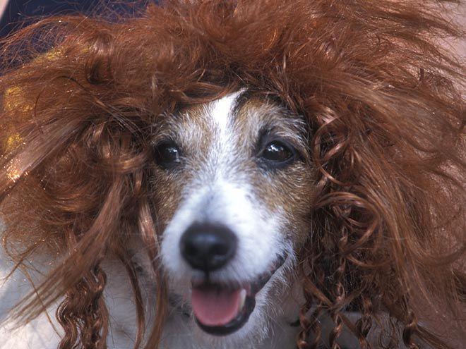 Собаки (и два кота) в париках (25 фото)