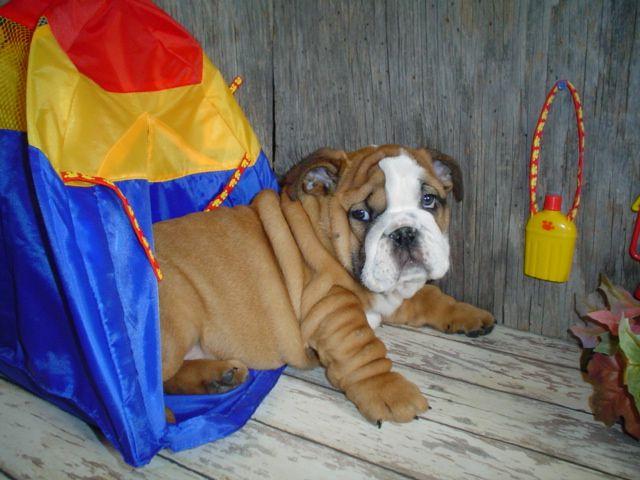 Бульдоги - смешные собаки, ага ;)) (29 фото)