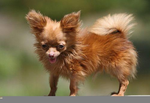 Позитивный песик. Один из самых маленьких в мире (8 фото)