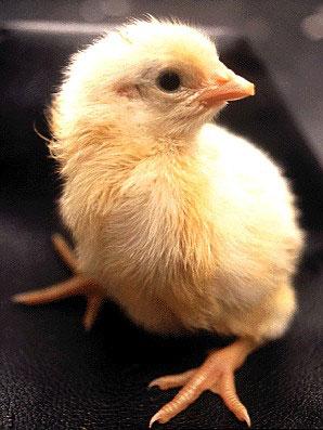 Как получается цыпленок (20 фото)
