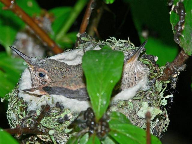Рождение колибри (17 фото)