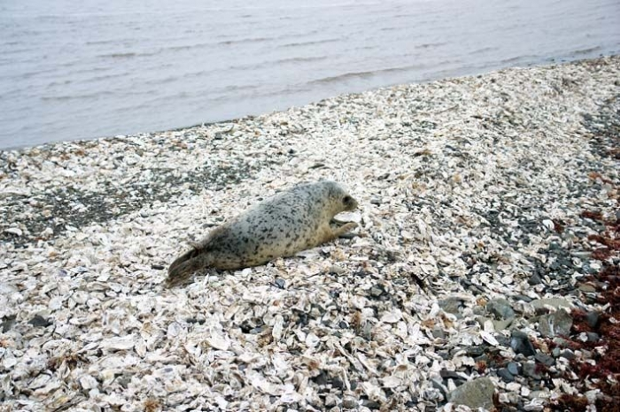 Тюлененка Варьку выпустили на свободу (25 фото)