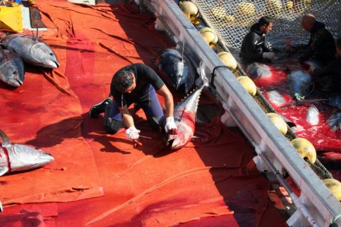 Охота на тунца. Рыбалкой это назвать сложно (24 фото)