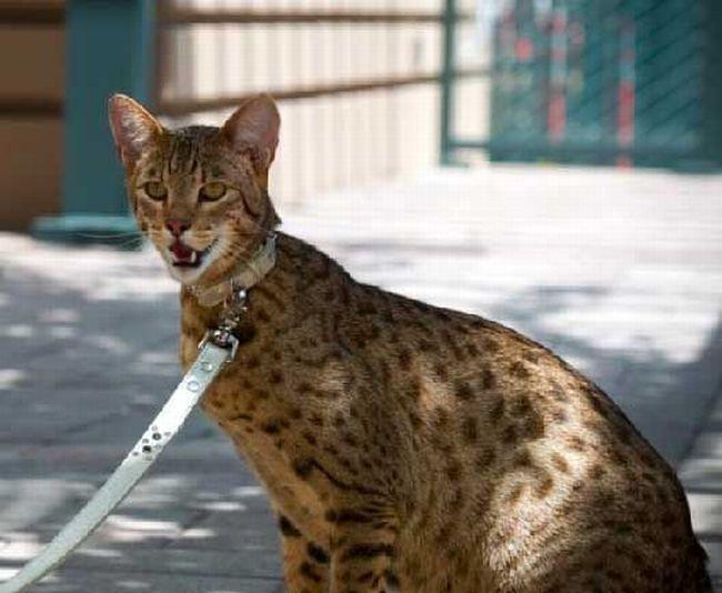 Кошка за 20000 баксов (3 фото)