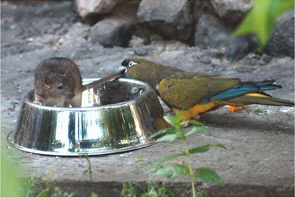 Смелый попугай )) (8 фото)