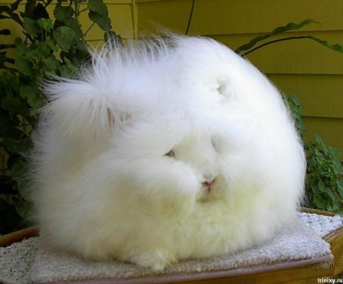 english angora rabbits - photo #24