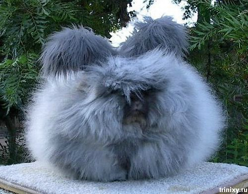 english_angora_rabbits_14.jpg