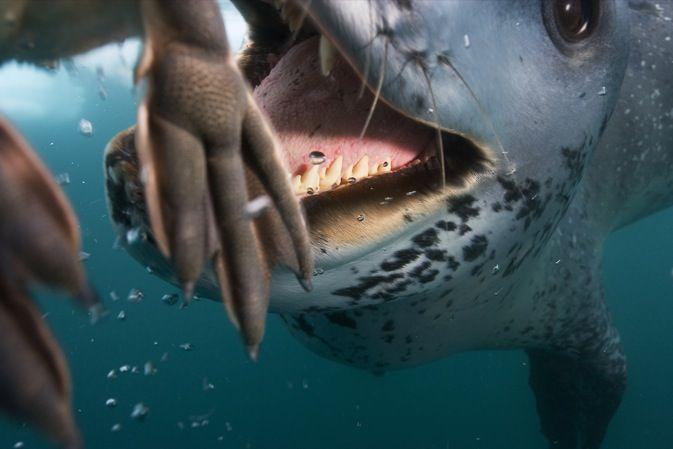 Леопардовый тюлень охотится на пингвинов (10 фото)