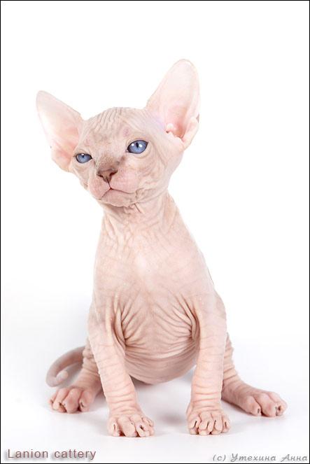 http://de.trinixy.ru/pics2/20070731/cats_sphinks_01.jpg