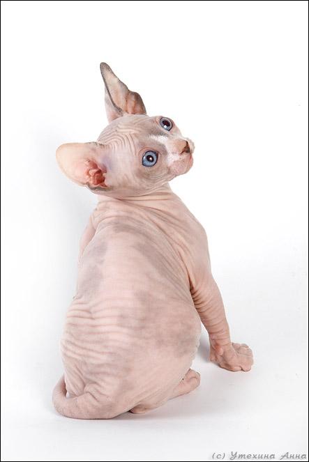 http://de.trinixy.ru/pics2/20070731/cats_sphinks_02.jpg