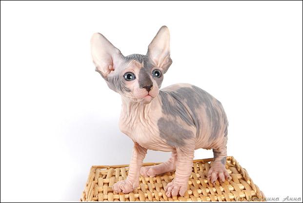 http://de.trinixy.ru/pics2/20070731/cats_sphinks_03.jpg