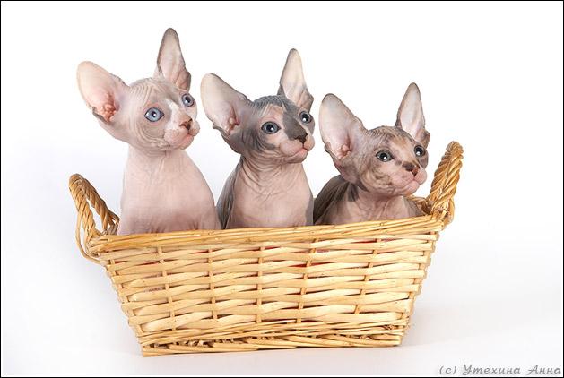 http://de.trinixy.ru/pics2/20070731/cats_sphinks_04.jpg