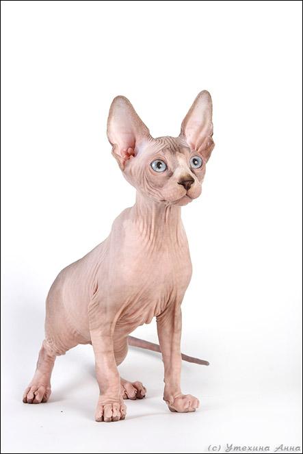 http://de.trinixy.ru/pics2/20070731/cats_sphinks_05.jpg