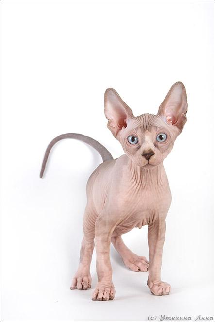 http://de.trinixy.ru/pics2/20070731/cats_sphinks_06.jpg