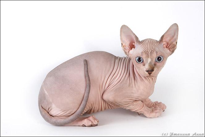 http://de.trinixy.ru/pics2/20070731/cats_sphinks_07.jpg