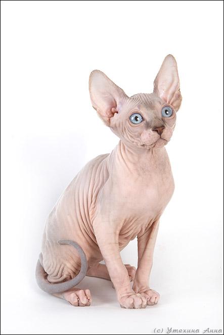 http://de.trinixy.ru/pics2/20070731/cats_sphinks_08.jpg