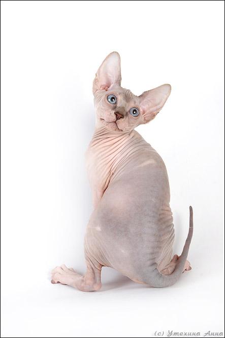 Котята-сфинксы. Классные ) (35 фото)