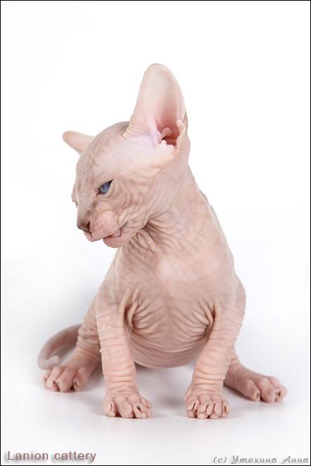 http://de.trinixy.ru/pics2/20070731/cats_sphinks_10.jpg