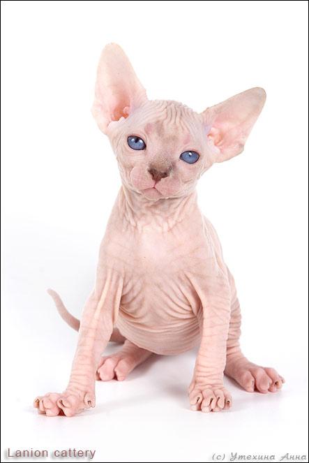 http://de.trinixy.ru/pics2/20070731/cats_sphinks_12.jpg