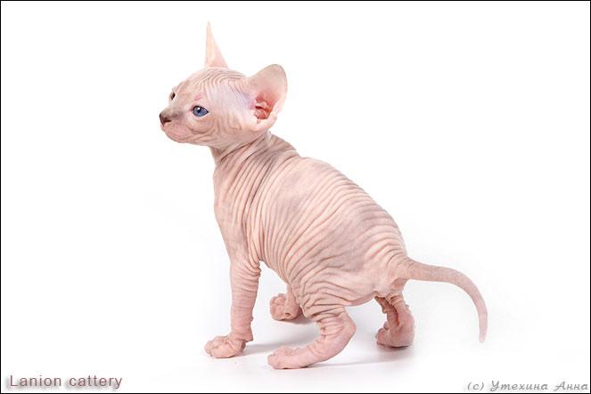 http://de.trinixy.ru/pics2/20070731/cats_sphinks_13.jpg