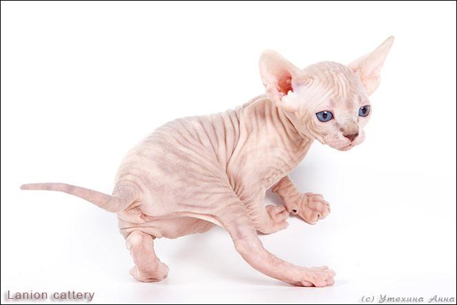 http://de.trinixy.ru/pics2/20070731/cats_sphinks_14.jpg