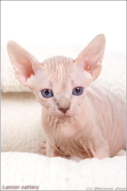 http://de.trinixy.ru/pics2/20070731/cats_sphinks_15.jpg