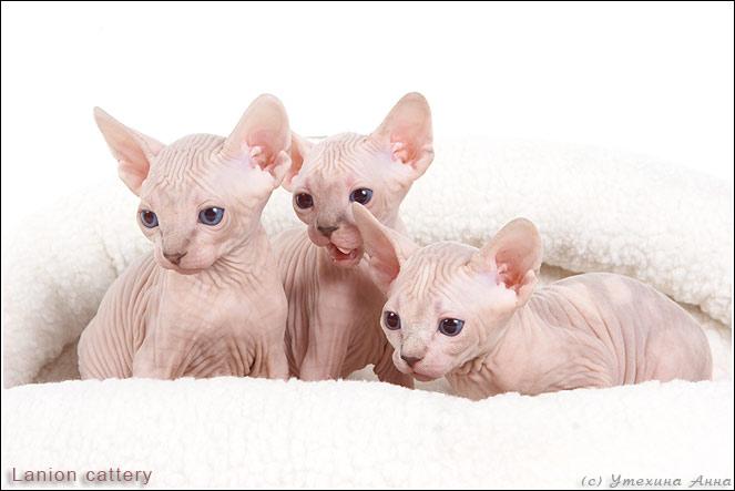 http://de.trinixy.ru/pics2/20070731/cats_sphinks_16.jpg