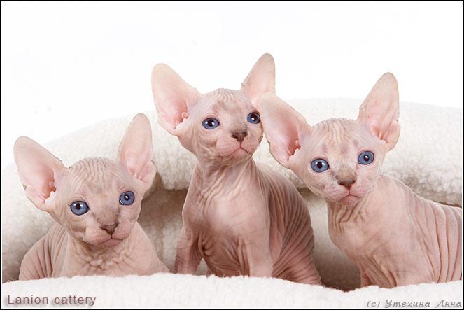 http://de.trinixy.ru/pics2/20070731/cats_sphinks_17.jpg