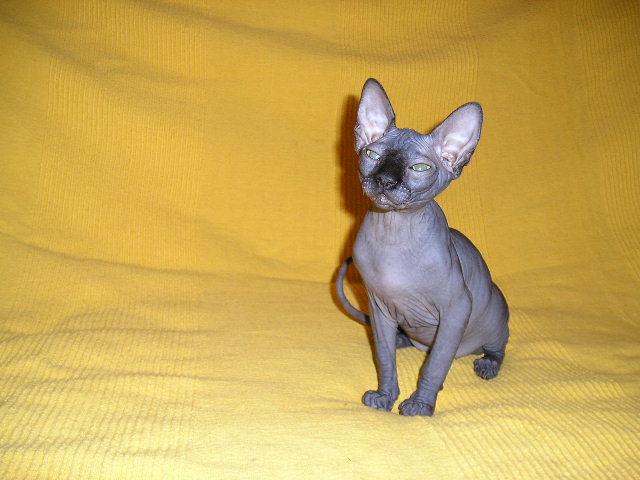 http://de.trinixy.ru/pics2/20070731/cats_sphinks_18.jpg