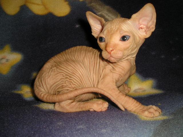 http://de.trinixy.ru/pics2/20070731/cats_sphinks_21.jpg