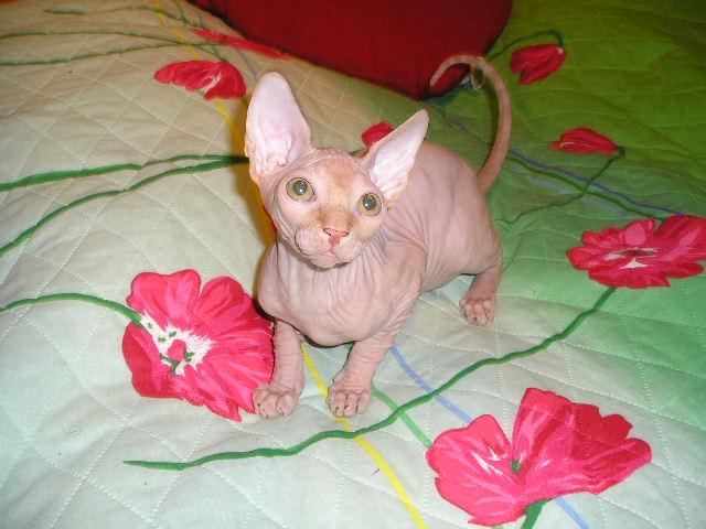 http://de.trinixy.ru/pics2/20070731/cats_sphinks_22.jpg