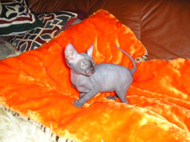 http://de.trinixy.ru/pics2/20070731/cats_sphinks_23.jpg