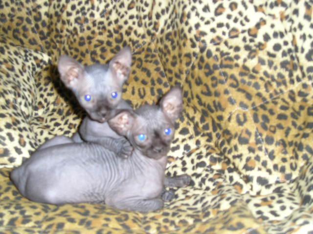 http://de.trinixy.ru/pics2/20070731/cats_sphinks_25.jpg