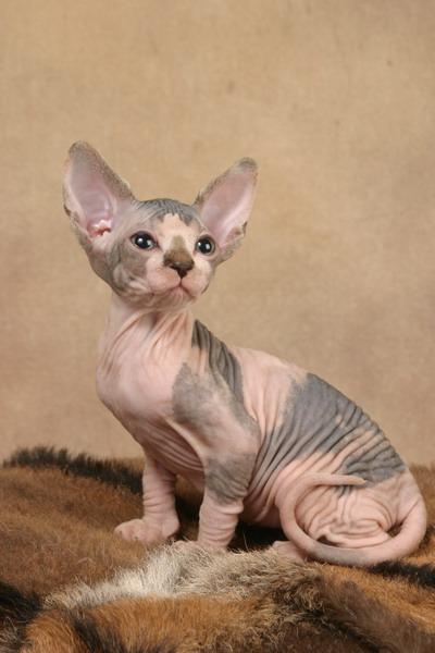 http://de.trinixy.ru/pics2/20070731/cats_sphinks_26.jpg