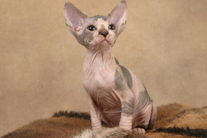 http://de.trinixy.ru/pics2/20070731/cats_sphinks_28.jpg
