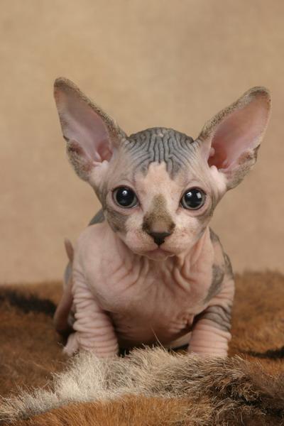 http://de.trinixy.ru/pics2/20070731/cats_sphinks_29.jpg