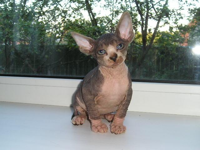 http://de.trinixy.ru/pics2/20070731/cats_sphinks_30.jpg