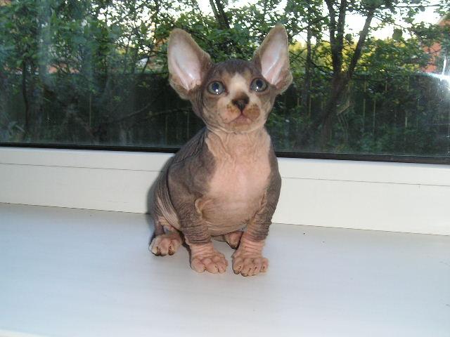 http://de.trinixy.ru/pics2/20070731/cats_sphinks_31.jpg