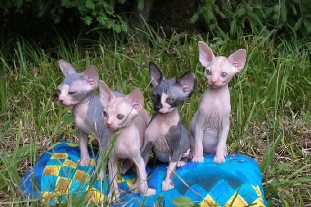 http://de.trinixy.ru/pics2/20070731/cats_sphinks_32.jpg