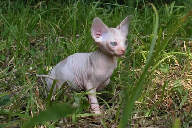 http://de.trinixy.ru/pics2/20070731/cats_sphinks_33.jpg