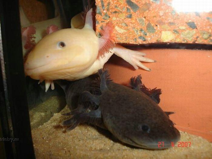 Аксолотлы - позитивные зверьки (44 фото)