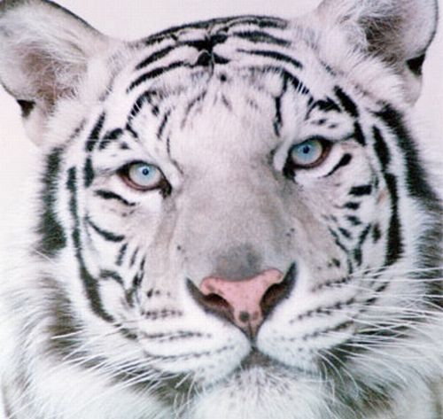 Неудачный белый тигр (3 фото)